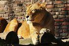 Löwin beim Sonnenbad