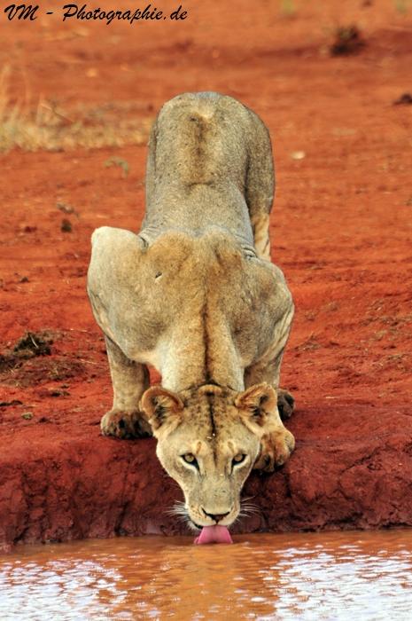 Löwin beim Trinken