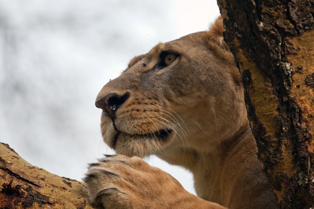 Löwin im Baum - Panthera leo