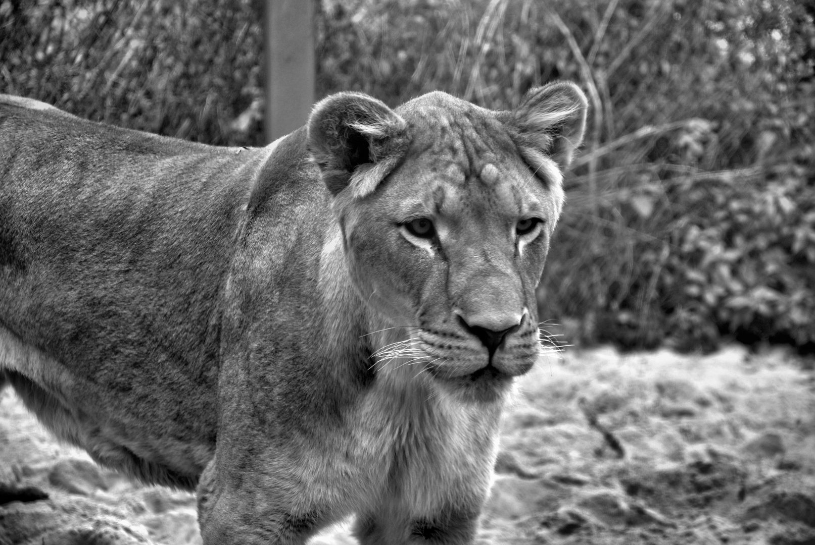 Löwin im Dresdener Zoo