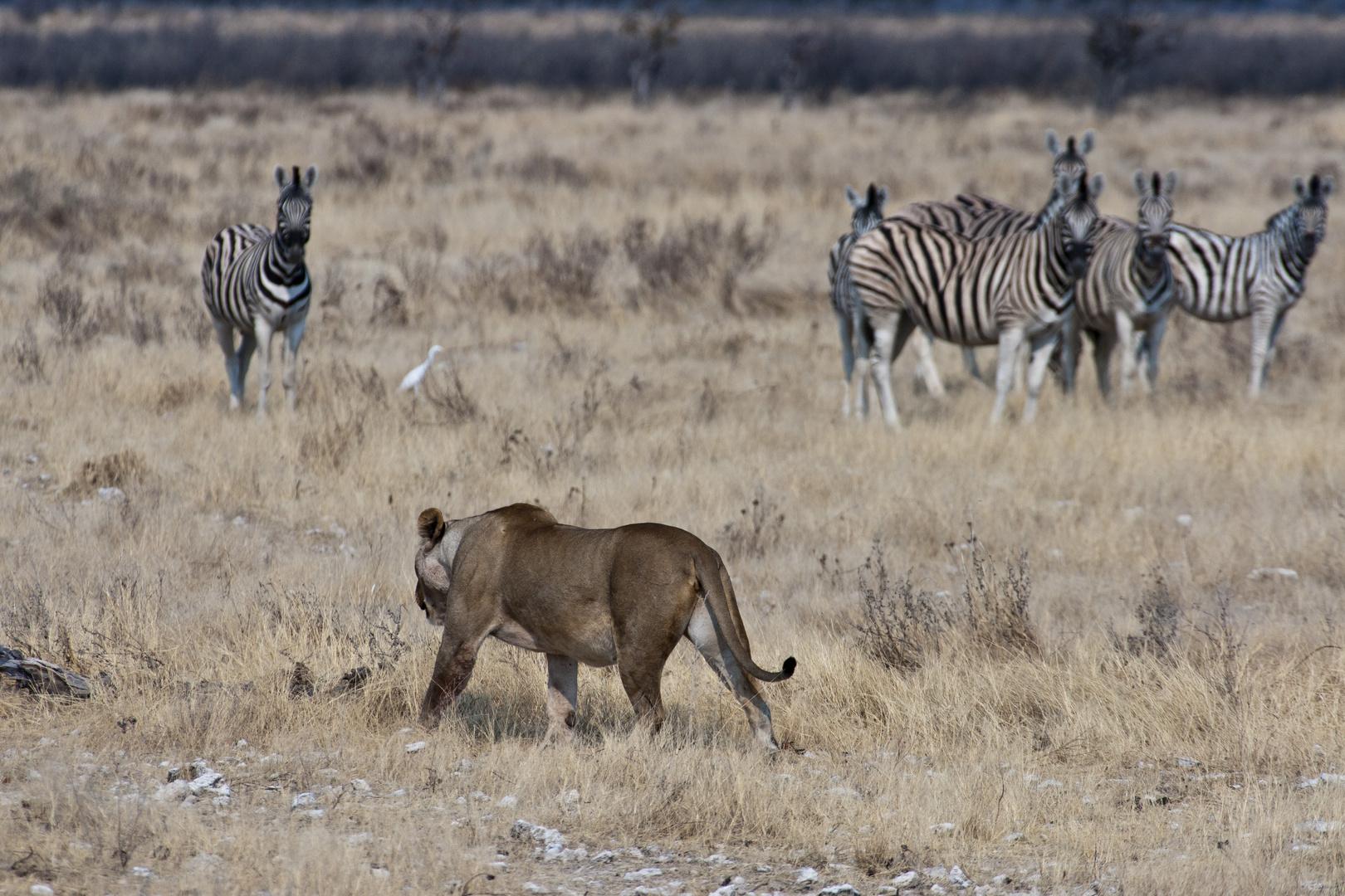 Löwin im Etosha NP - auf der Jagd