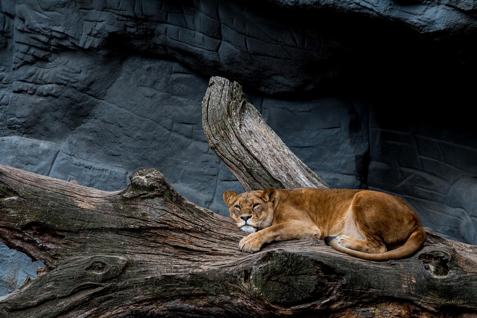 Löwin im Hagenbecks Tierpark