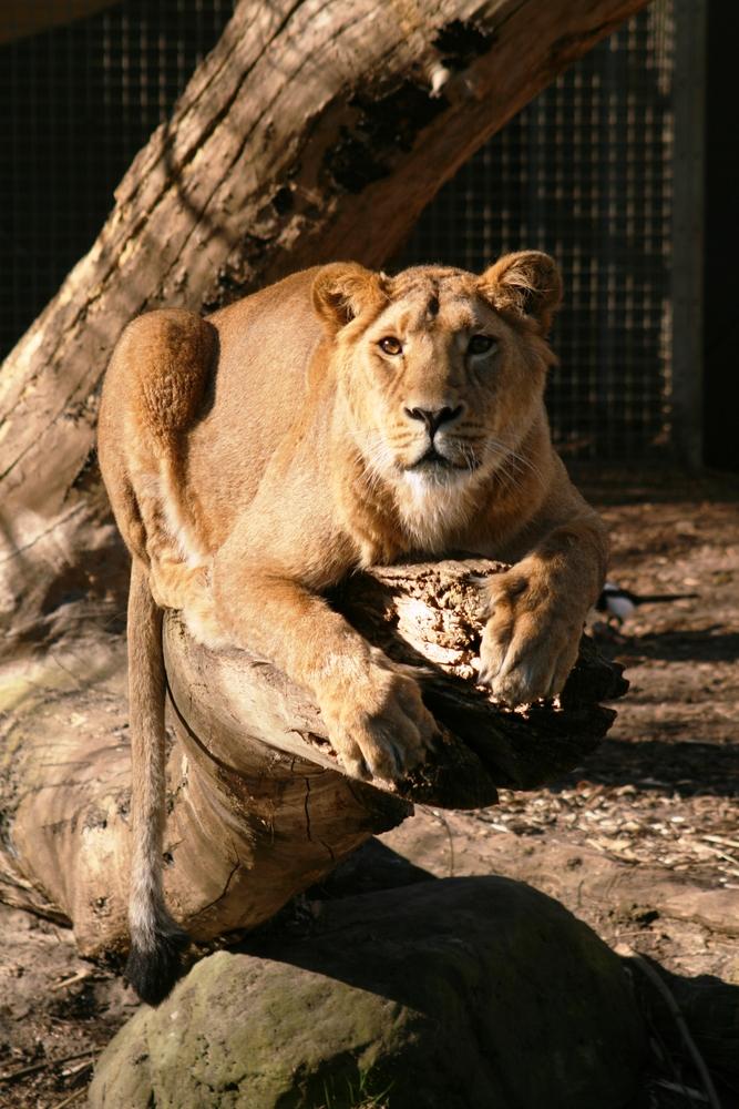 Löwin im Rotterdamer Zoo (Niederlande) (19.03.2012) (2)