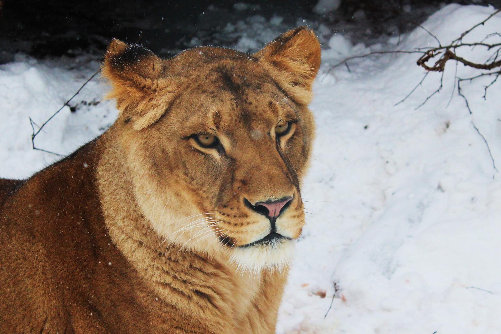Löwin im Schnee