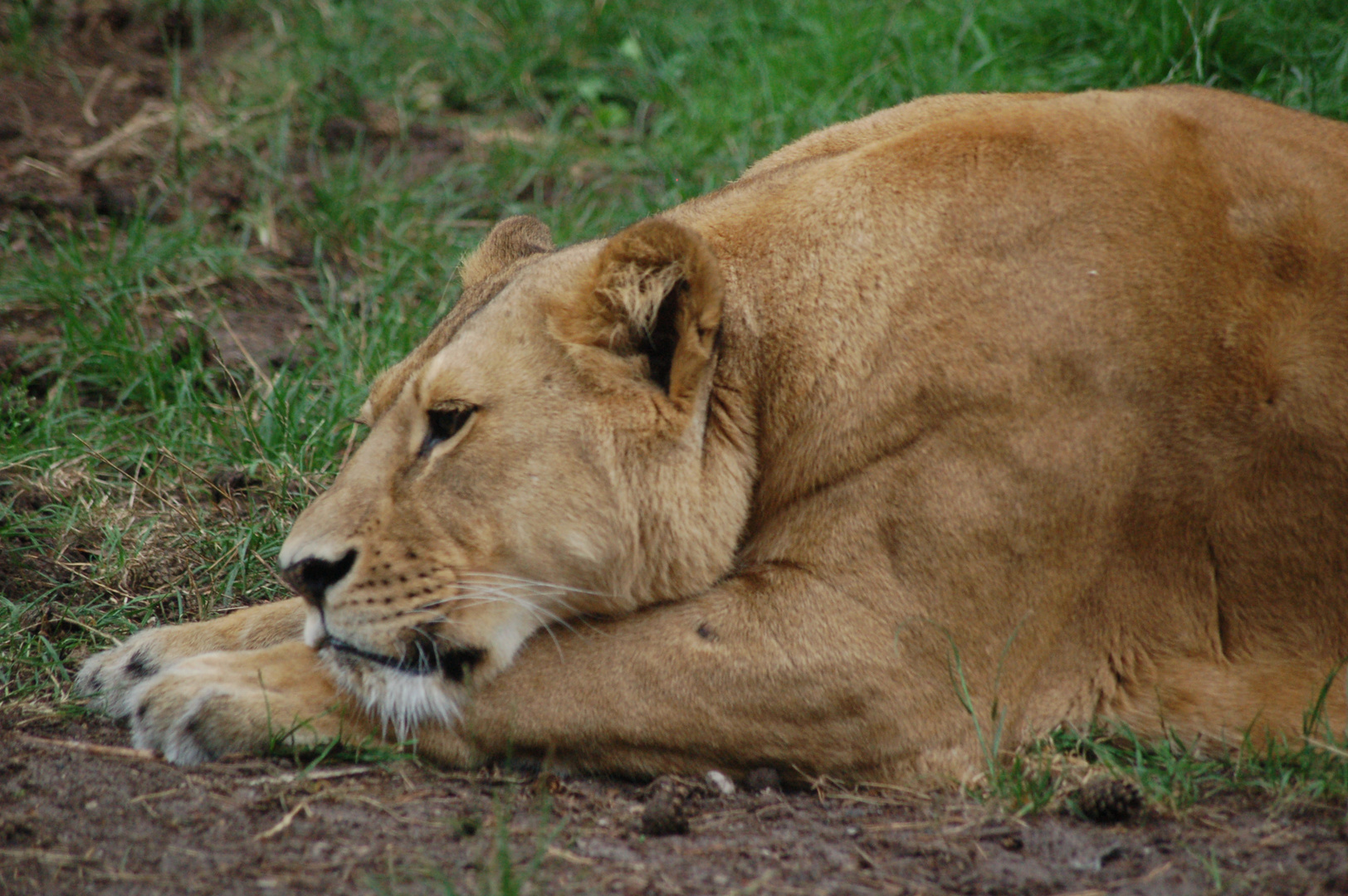 Löwin im Wildpark