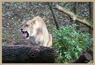 Löwin mit eigener Meinung