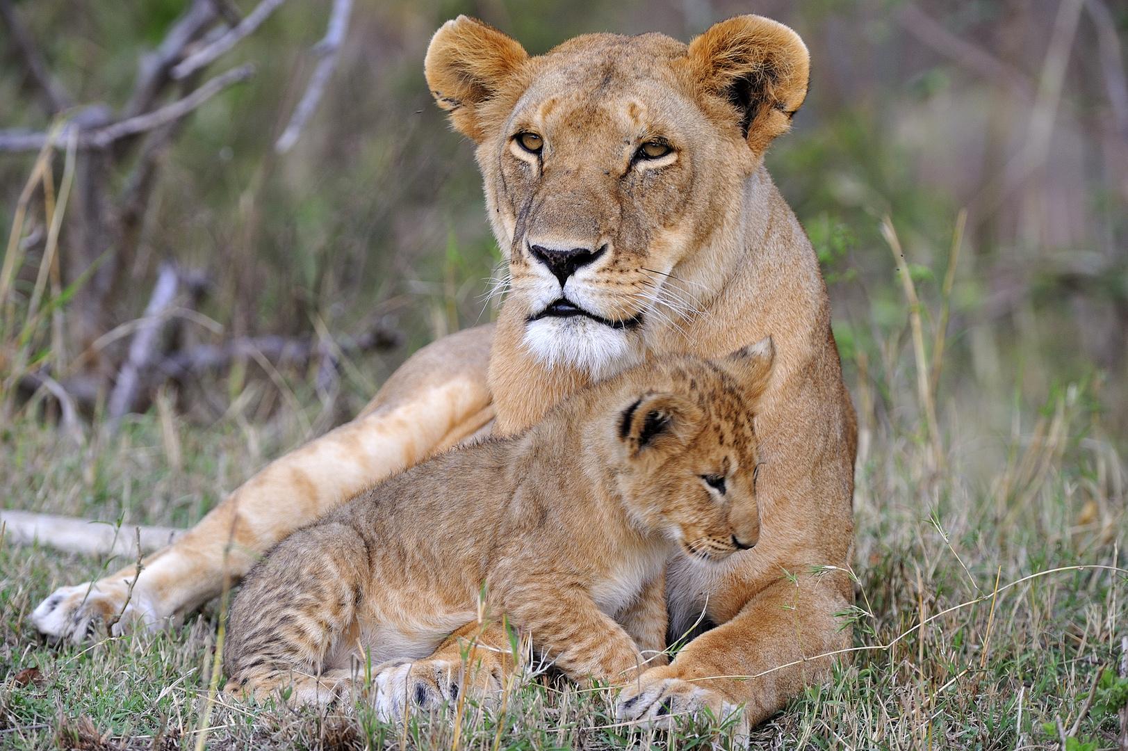 Löwin mit Jungem in der Massai Mara