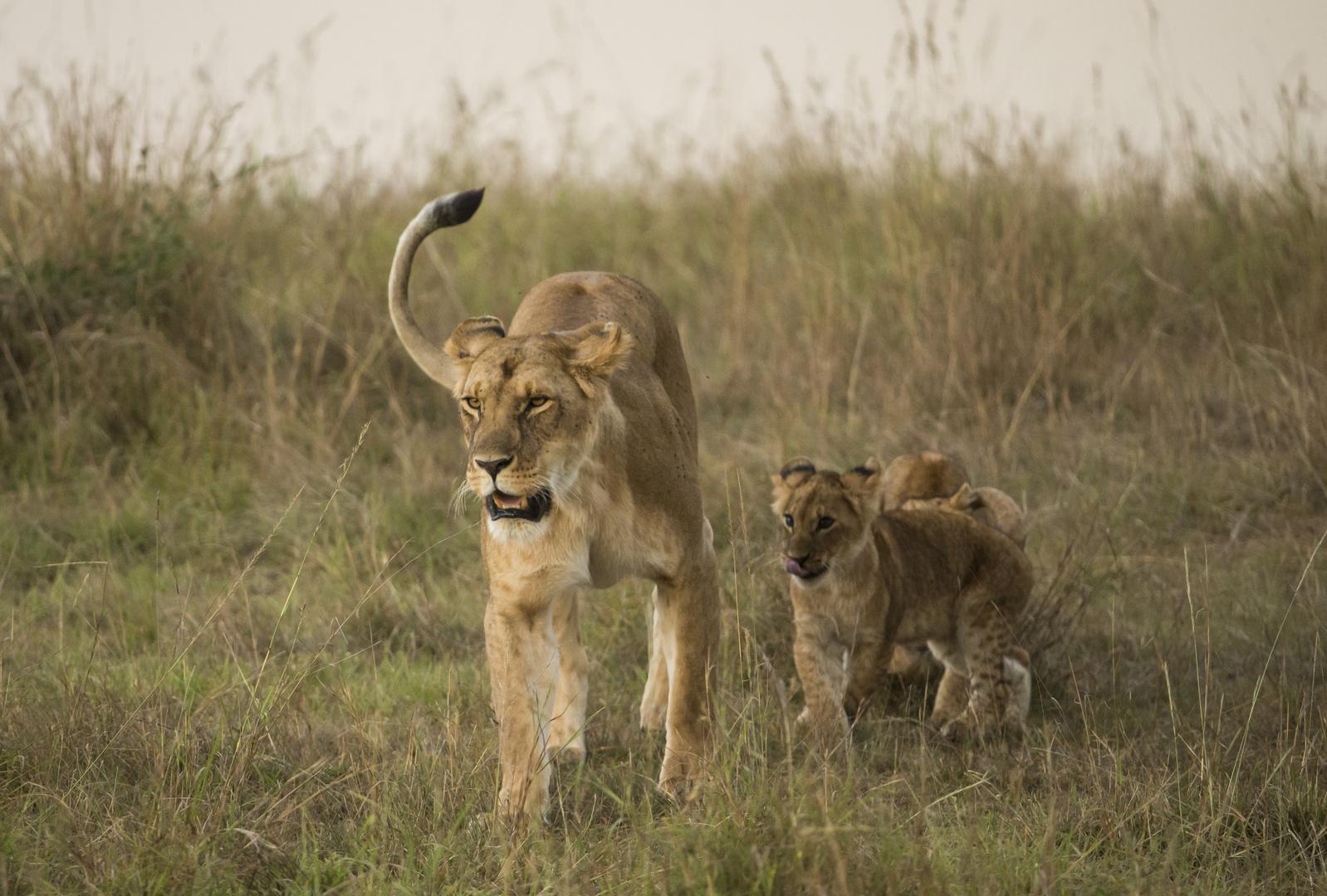 Löwin mit Nachwuchs
