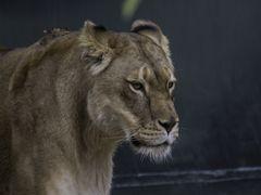 Löwin / Panthera leo