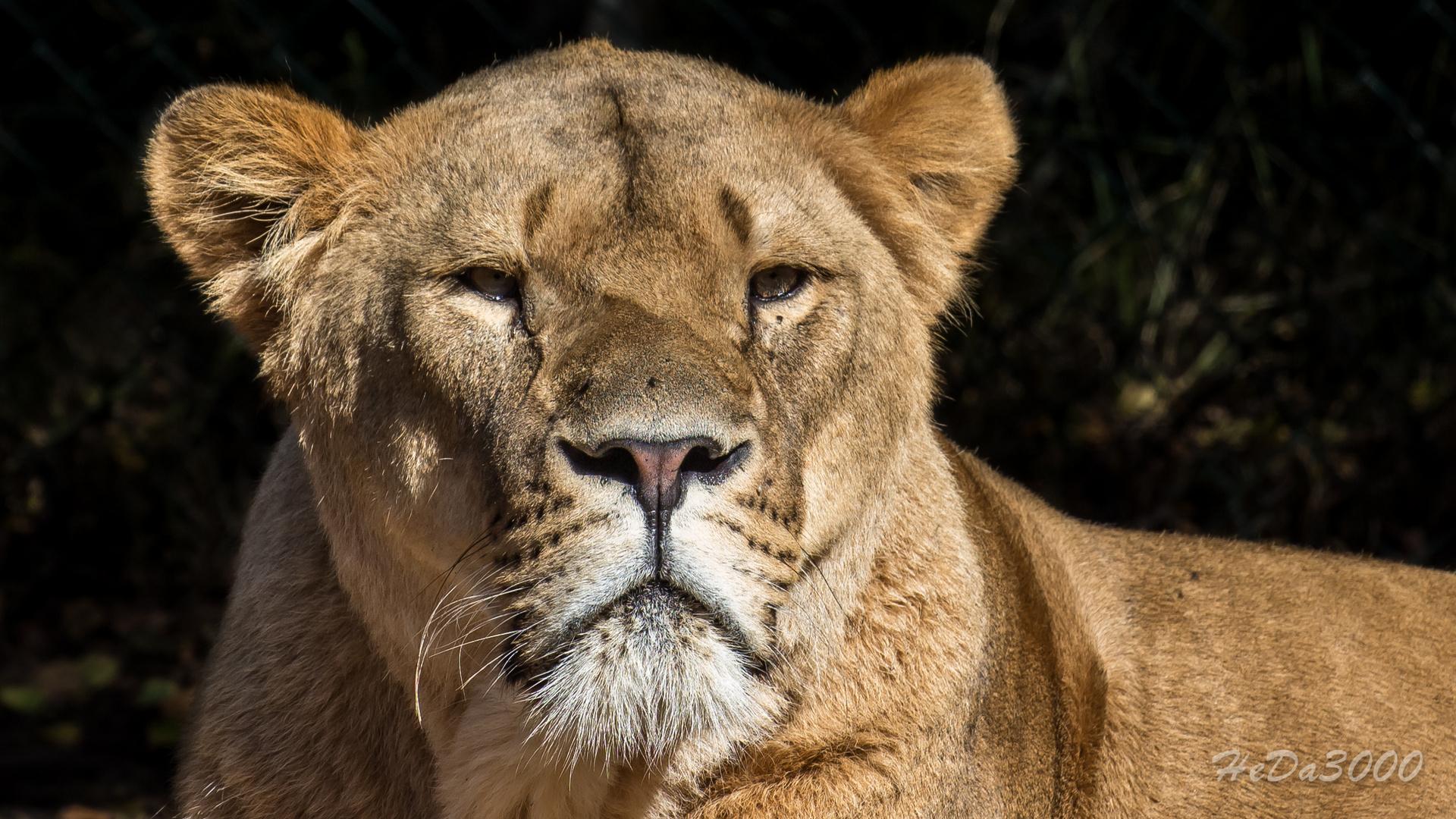 Löwin, schau mir in die Augen Kleiner