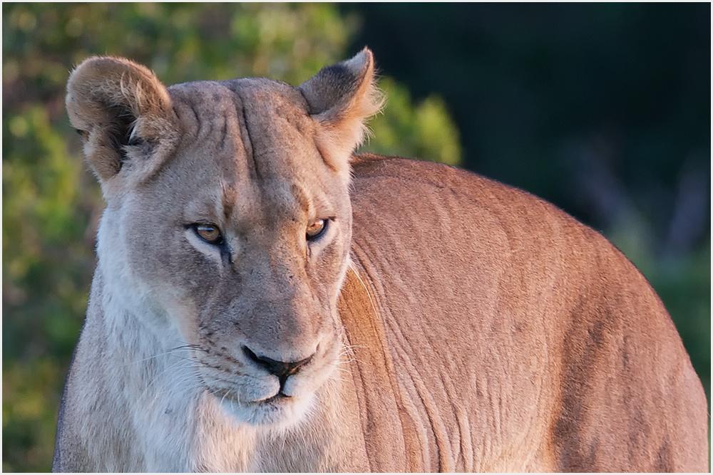 Löwin ( Süd-Afrika )