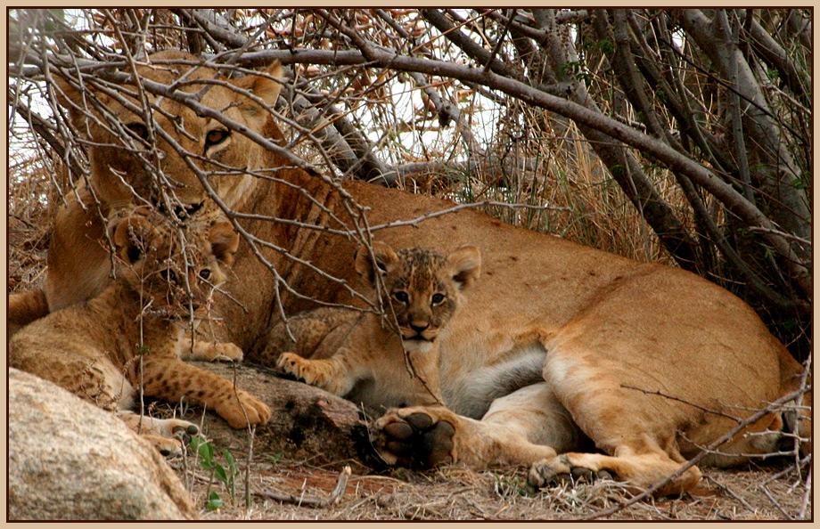 Löwin und Ihre Babys