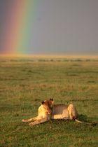 Löwin unterm Regenbogen
