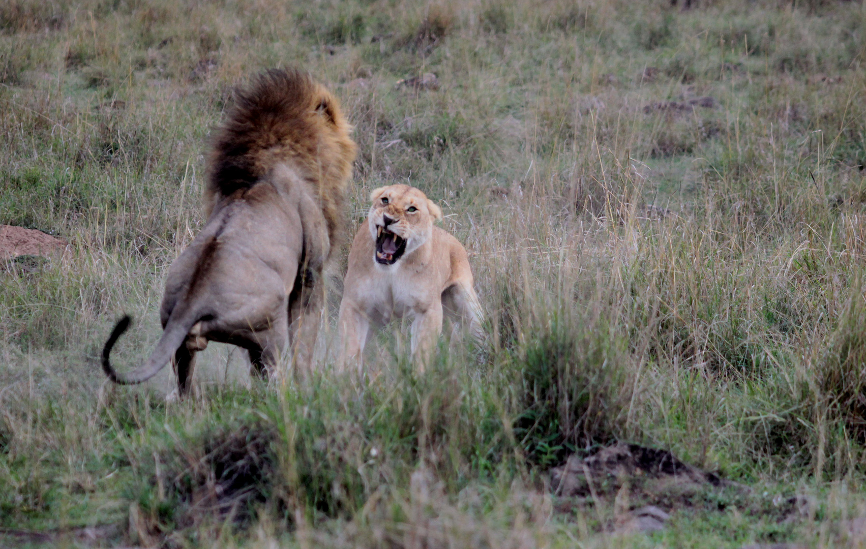 Löwin verteidigt ihre Jungen gegen einen Löwen (1)