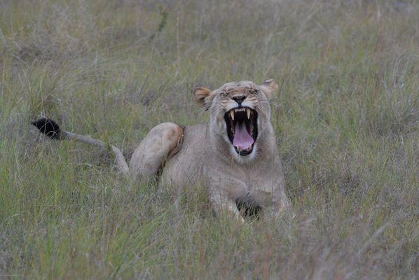 Löwin zeigt Zähne