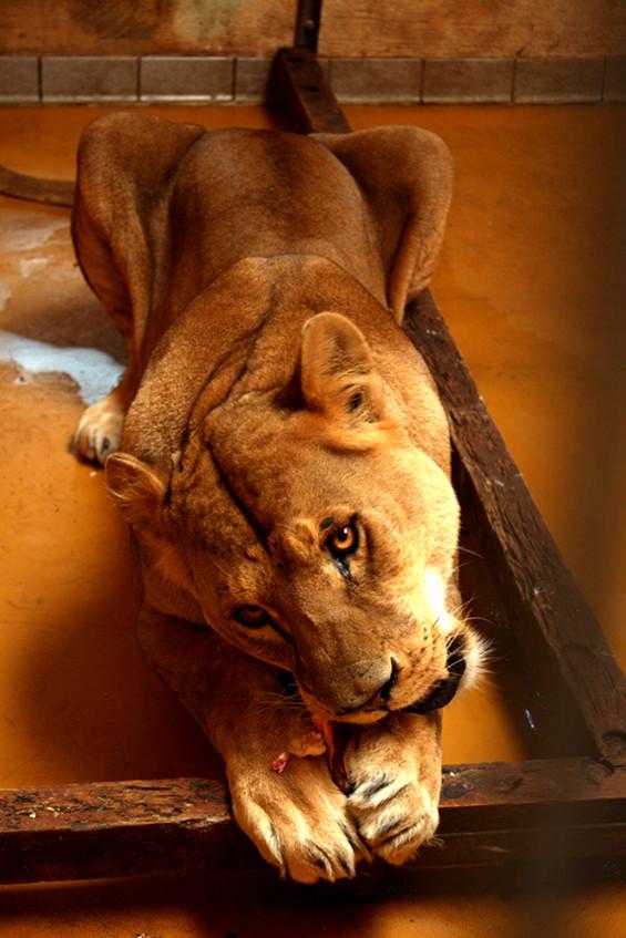 Löwin - Zum Fressen gern
