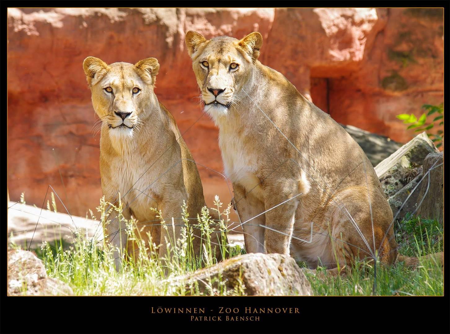 Löwinnen im Zoo Hannover