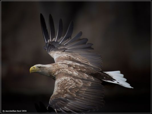 Lofoten-Fischadler
