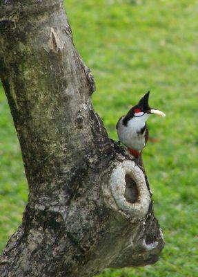 L'oiseau à crête noire