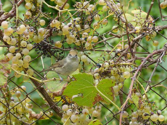 l'oiseau aux raisins