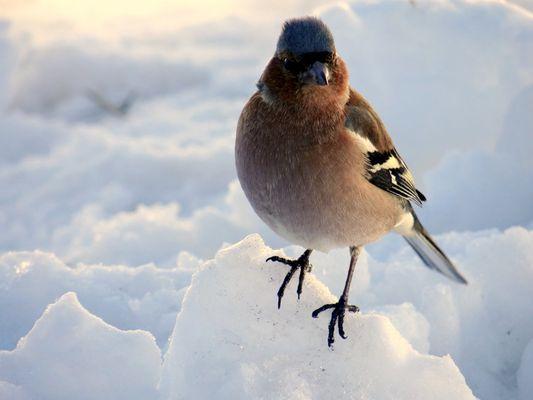 L'oiseau dans la neige