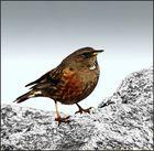 L'Oiseau des Cîmes