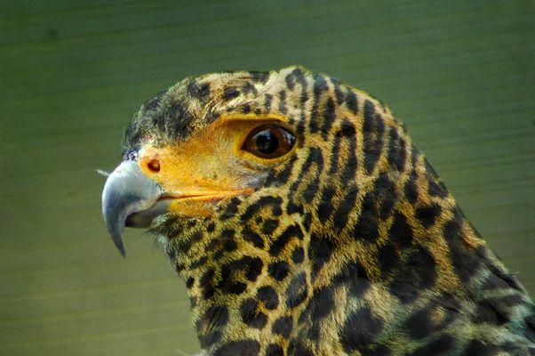 L'oiseau léopard