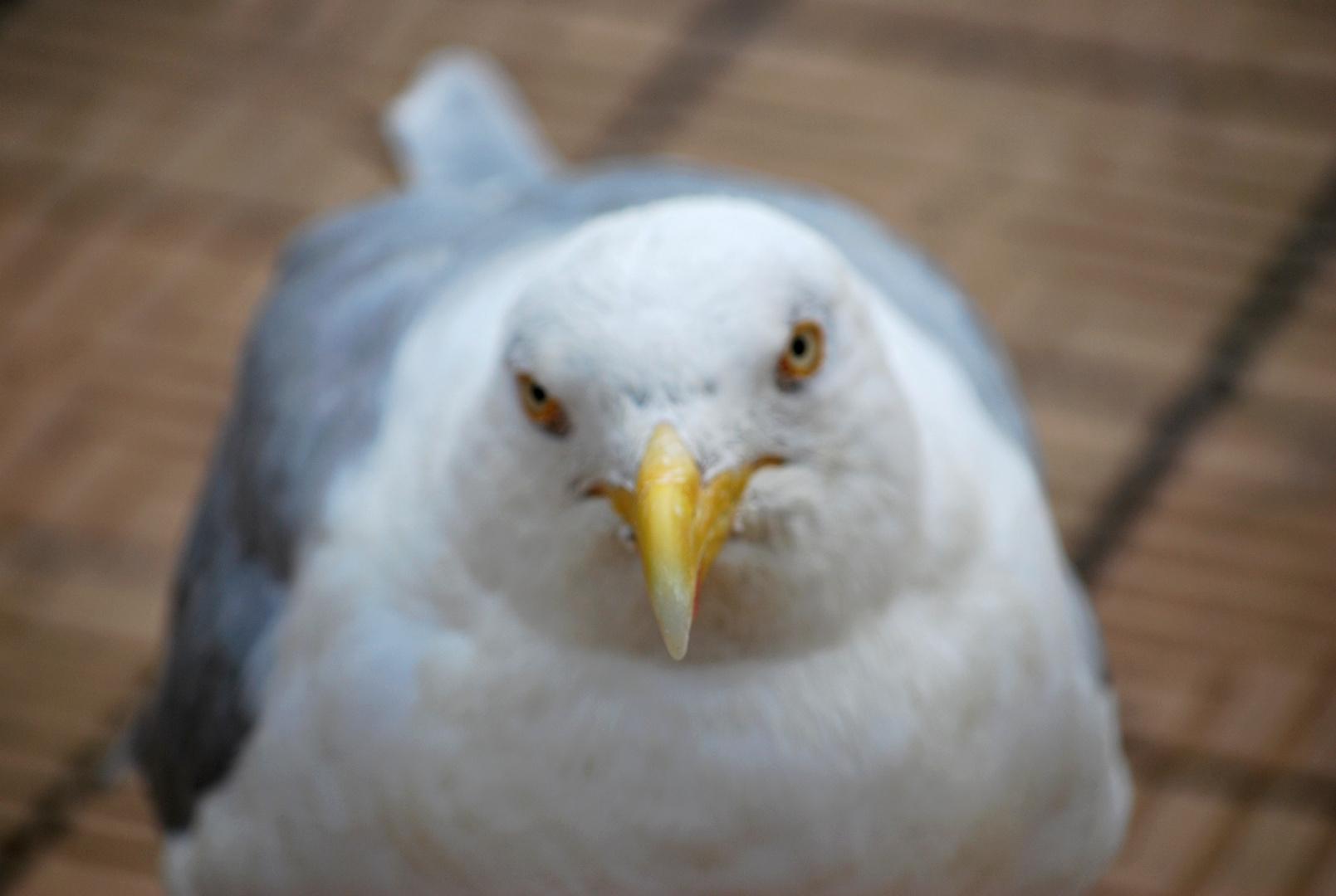 L'oiseau par l'odeur attiré s'en vint nous voir esperant quelques pitances