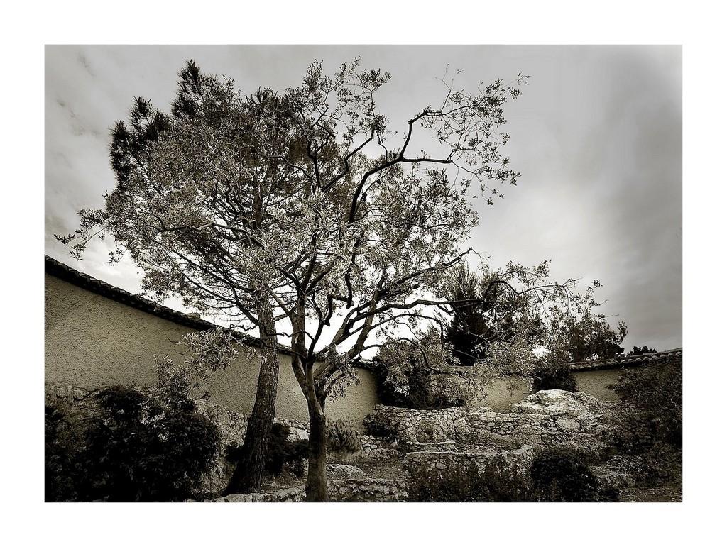 L'olivier du cimetière
