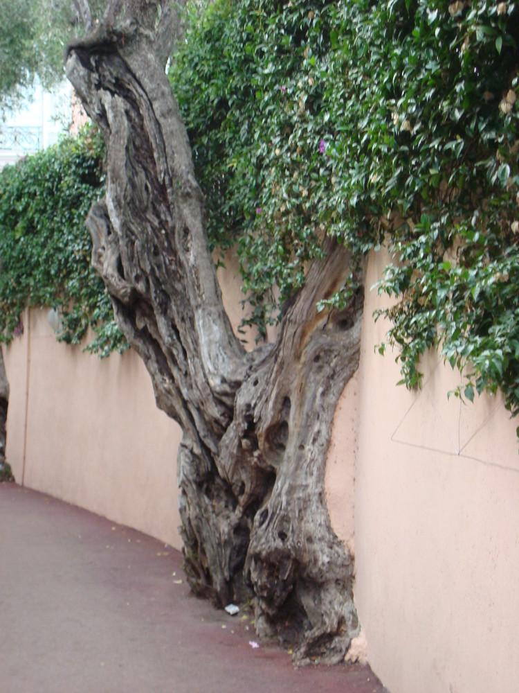 L'olivier qui ne meurt jamais