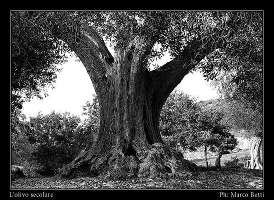L'olivo secolare