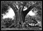 L'olivo secolare (repost)