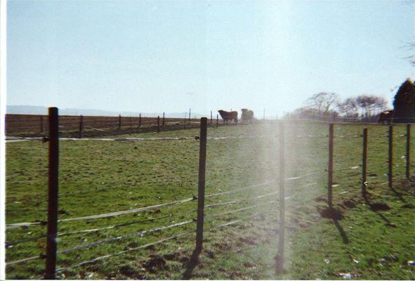 Lomo: Kühe auf der Weide