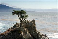 [ Lone Cypress ]