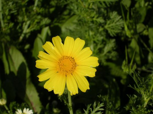 =Lonely camomile=