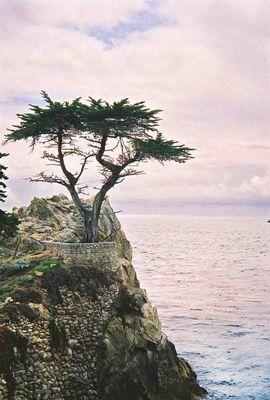 Lonely Cypress; Kalifornien, Monterey, 17 Mile Drive; April 2002