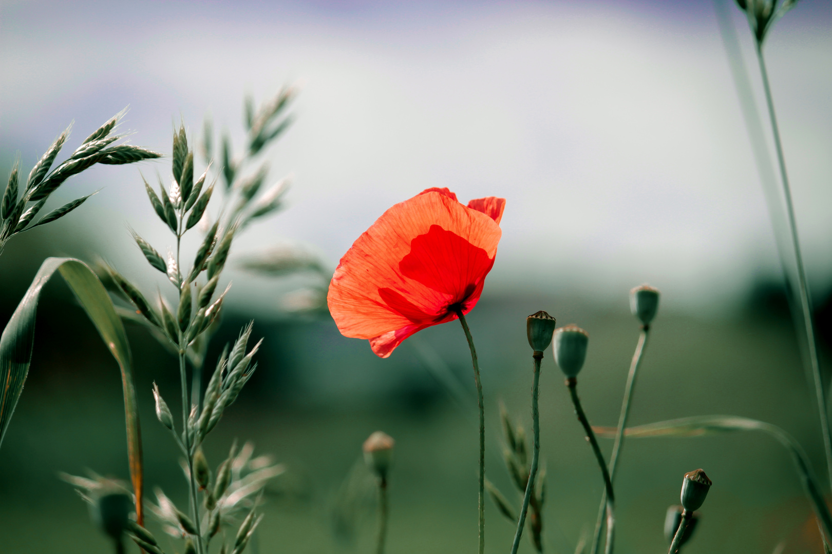 Lonely Mohn