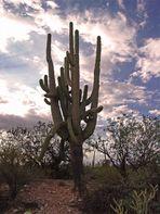Lonely Saguaro