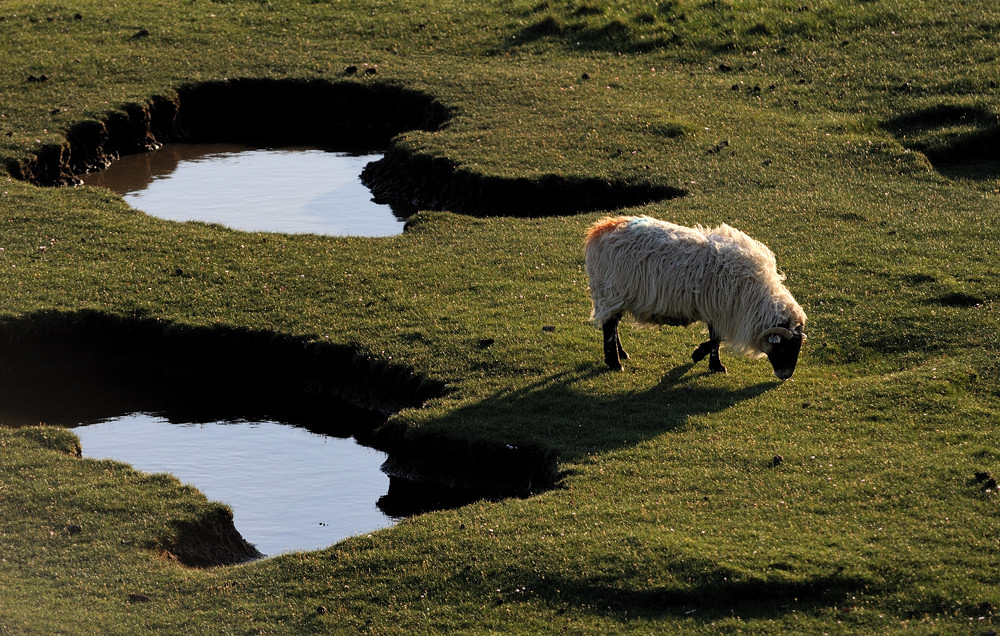 *lonely sheep*