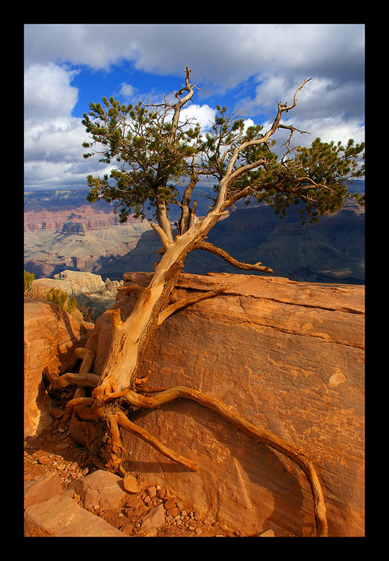 Lonely Tree im Grand Canyon
