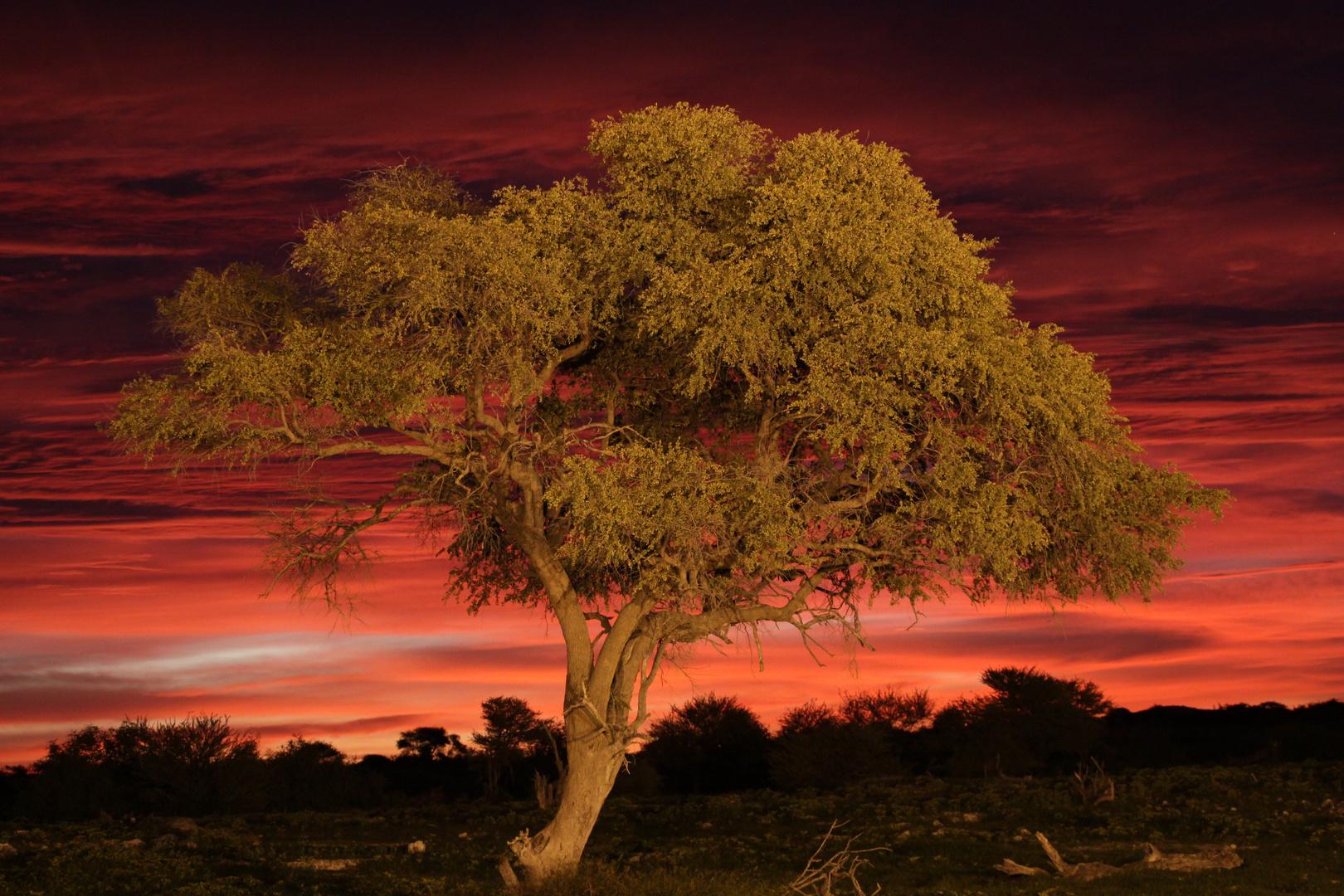Lonely Tree in Okaukuejo