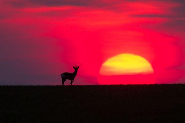 Lonesome deer