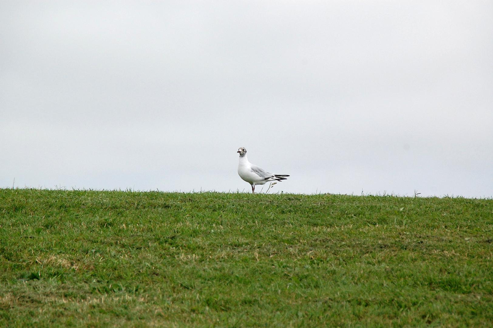 """""""lonesome gull on dyke"""" - einsame Möwe am Deich"""