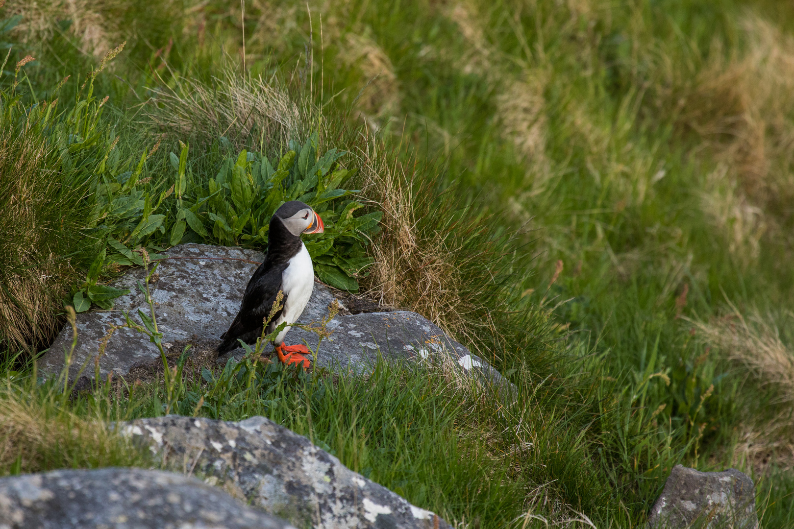 Lonesome Puffin