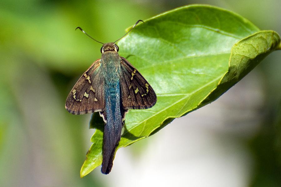 Long-tailed Skipper (Urbanus proteus)