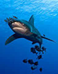 Longimanus Weißspitzenhochsee Hai