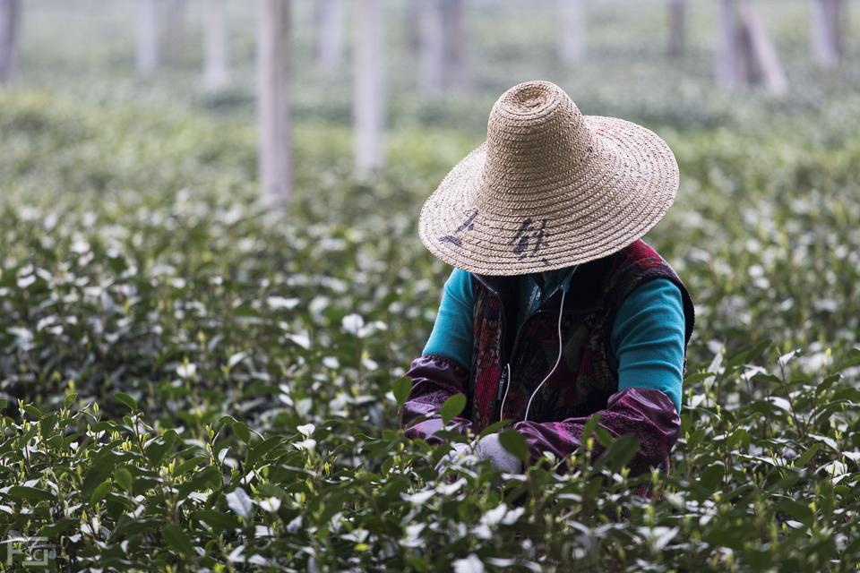 Longjing Tea Picker