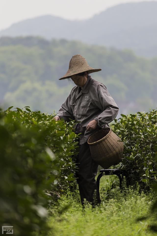 Longjing Tea Picker II