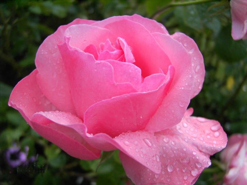 Lonis Rose