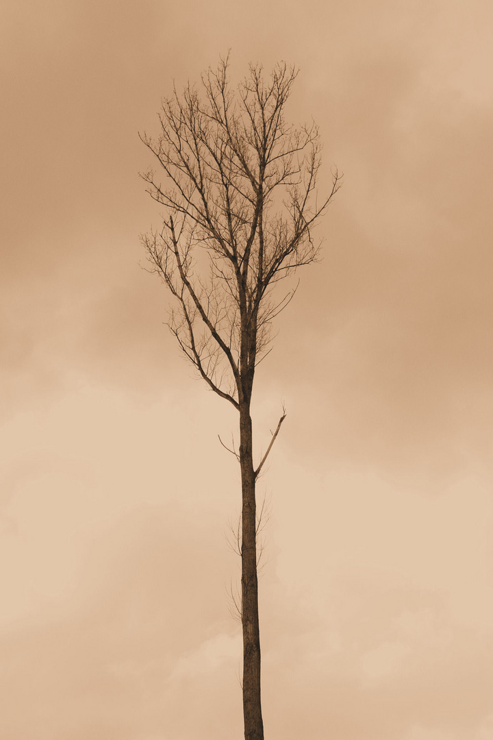 Lonsome Tree